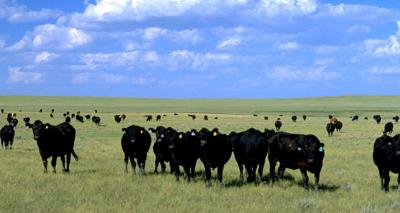 Cattle Herd generic