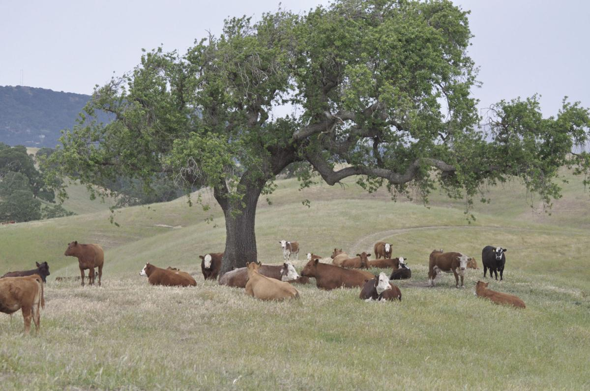 California producers to vote on Cattle Council