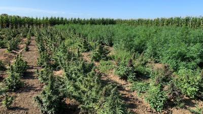 Early hemp research already yielding results