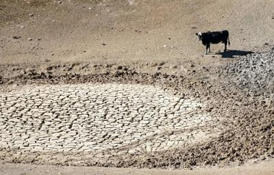 Drought Cow generic