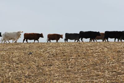 Crop Residue Exchange connects cattle producer with available forage