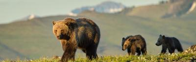 Grizzly bears are back on the list
