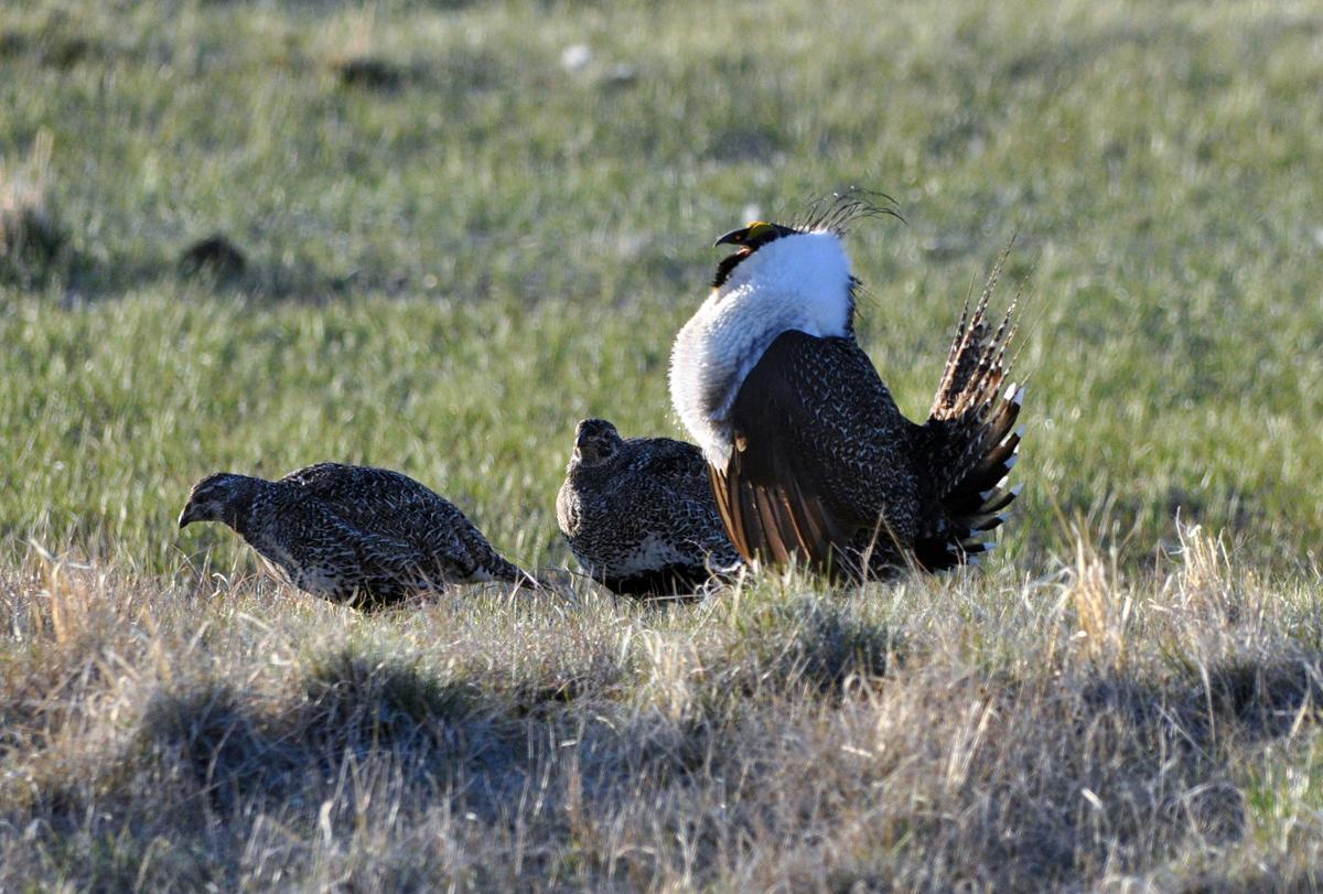 Environmentalists claim win on bi-state sage-grouse ruling