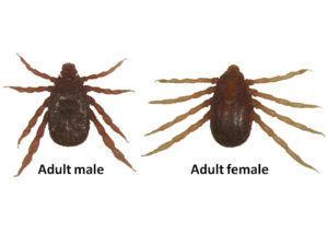 Fever ticks threaten reappearances