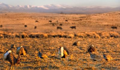 Sage Grouse and cattle generic
