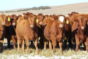 Preg check and cull replacement heifers early