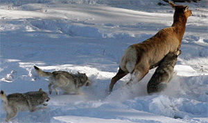 WDFW director authorizes removing wolves