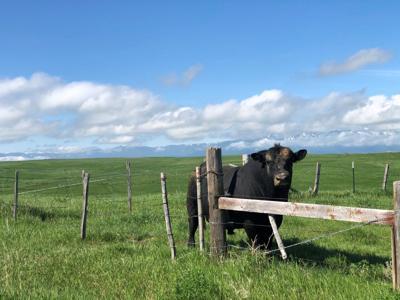 bull on fence