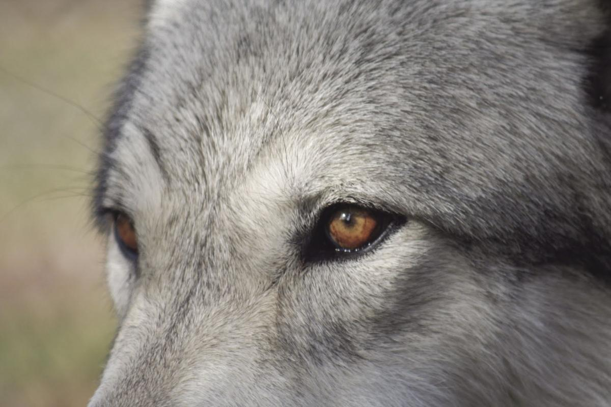 Wolf depredations continue — Lethal take halted by court