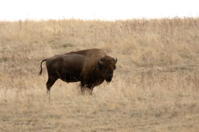 National Bison Range Wildlife Refuge in Montana