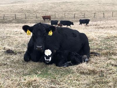 Ways to minimize death loss in calves