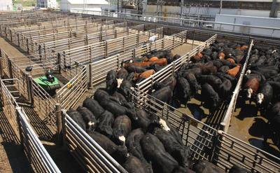 Robotic cattle driver to improve animal welfare and employee safety