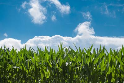 Corn field generic