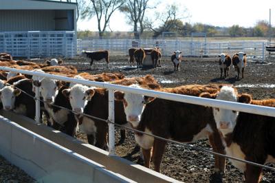 feedlot heifers generic