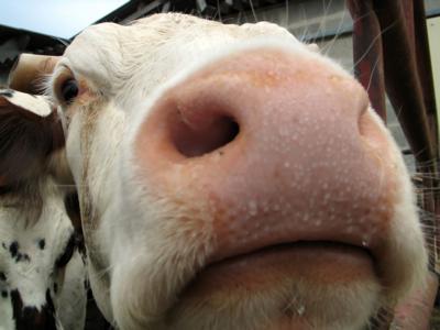 Close-up cow generic
