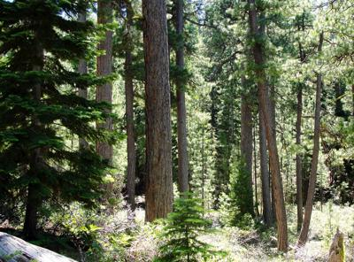 Northwest forests are becoming vulnerable to fire