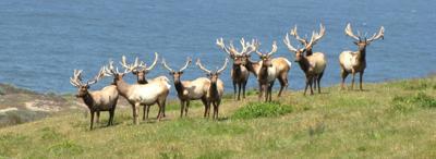 Bipartisan bill seeks to settle Point Reyes Tule elk issue