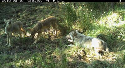 Wolf depredations continue in WA and OR