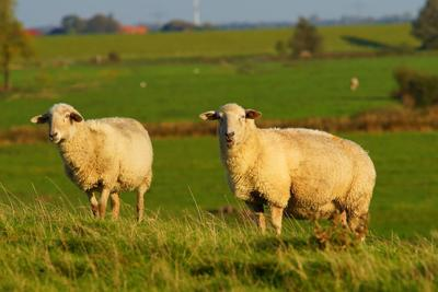 Guest worker program has provisions important to sheep producers