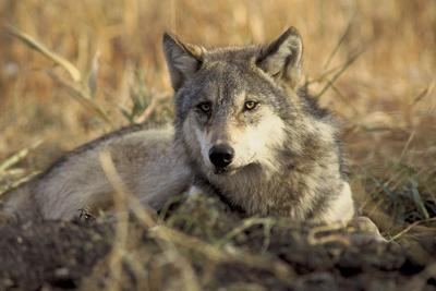 Wolf plan approved in Oregon