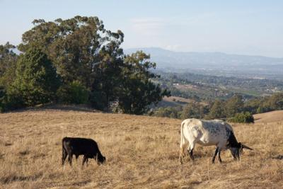 Livestock grazing helps California tackle wildfire - 2