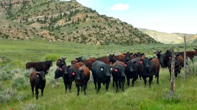 BeefTalk: Reproductive performance in commercial beef herds is remarkable
