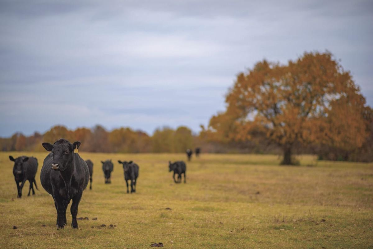 cattle fall pasture.jpg