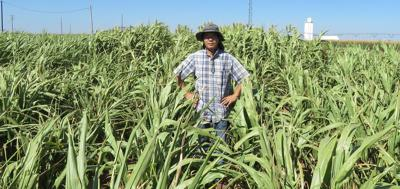 High biomass sorghums competitive in water-stressed settings