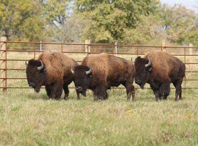 BLM reviews American Prairie Reserve bison grazing proposal