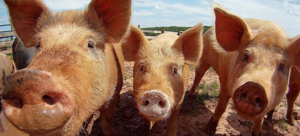 Fever or trade talk briefly ignite U.S. hog market