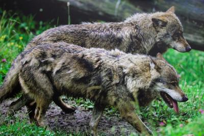 Oregon revising wolf plan