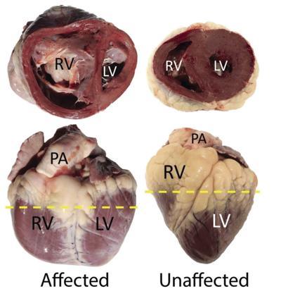 Genetic factors found in feedlot brisket disease