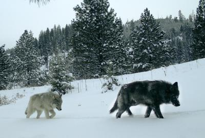 Oregon wolf management plan discussed recommendations heard, no action taken