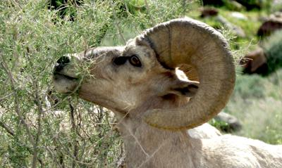 Bighorn sheep to be introduced to Utah mountain range