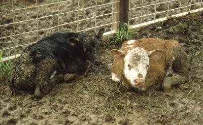 The importance of good husbandry with scours