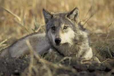 photo • gray wolf • hollingsworth