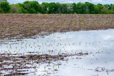 Flooded corn field generic