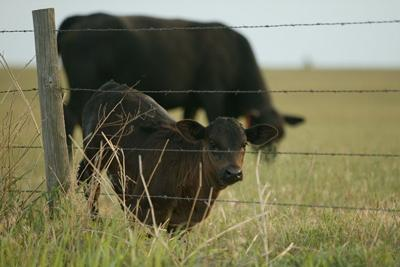 Cattle producers should set protocols now for assisting a cow or heifer in labor
