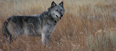 Collared Gray Wolf generic