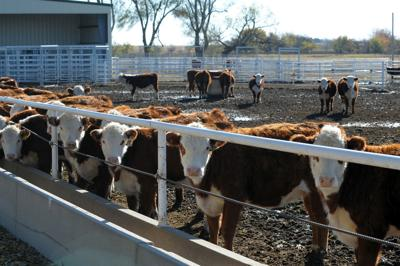 Cattle markets flounder on seasonal and outside threats
