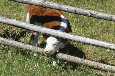 Cow sticking head through fence