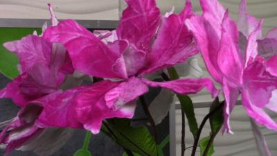 picture-COLOR-CHANGING-POINSETTIA
