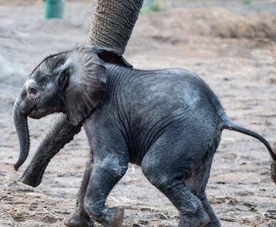 Louisville Zoo elephant Calf