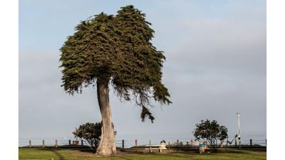 The Monterey Cypress