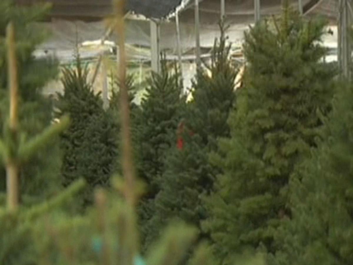 Christmas Tree Shortage.Christmas Tree Sellers Experience Shortage News Wpsd Local 6