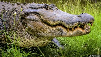 alligator1