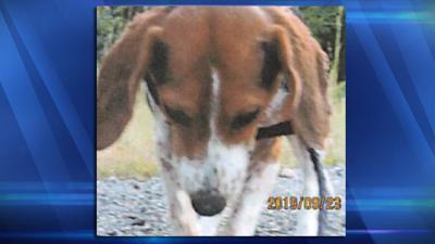 Skinned Beagle