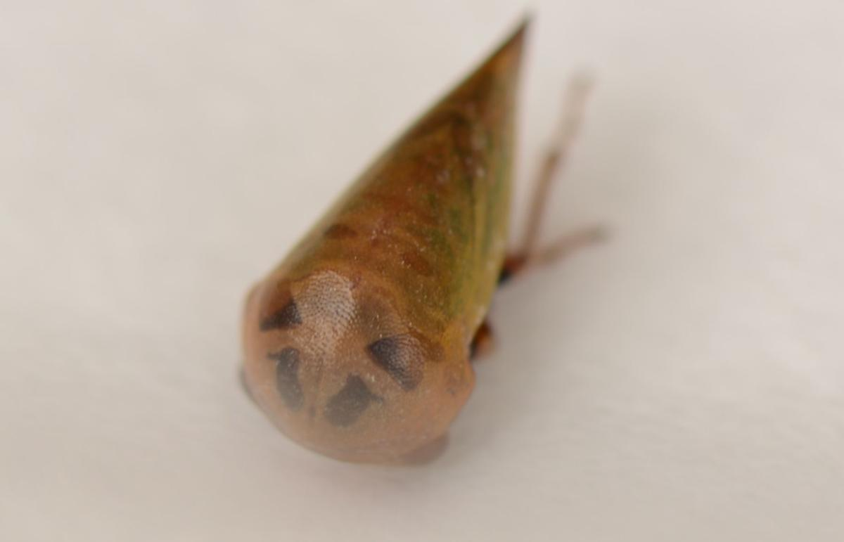 treehopper-4