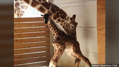 April the giraffe with calf