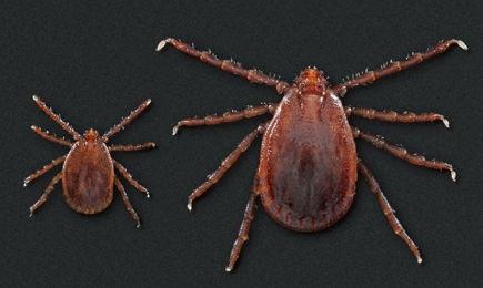 longhorned-ticks